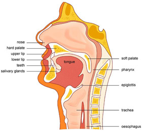 Exercise your wonder may 1 2007 passed by the tongue into the pharynx on their way to the esophagus they are very likely to end up going down the trachea to the lungs below instead ccuart Image collections
