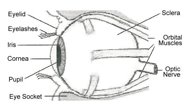 Parts of the eye gallery human anatomy organs diagram exercise your wonder october 1 2004 ccuart Image collections