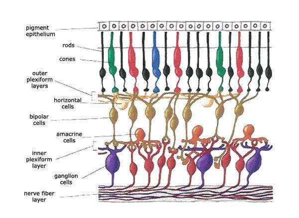 Retina Cell Diagram Electrical Work Wiring Diagram